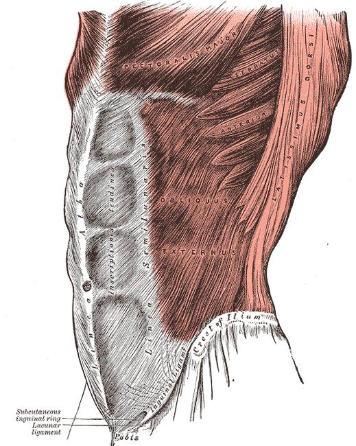 oblicuo mayor del abdomen como hacer ejercicios abdominales en casa