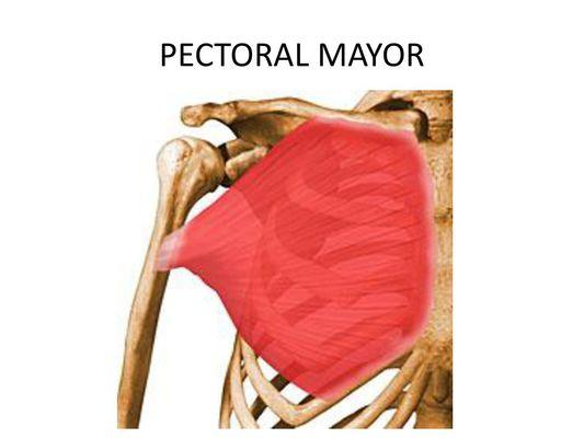 musculatura del pectoral mayor ejercicios para pectorales