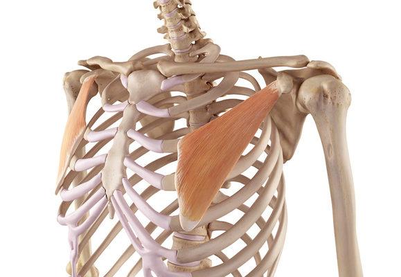 musculatura del pectoral menor ejercicios para pectorales