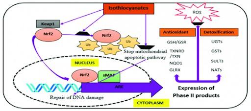 mecanismo de accion del sulforafano