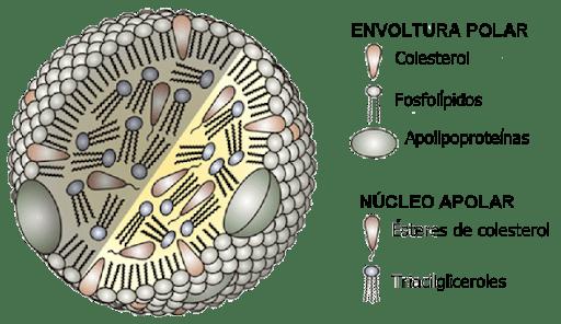 lipoproteínas y colesterol