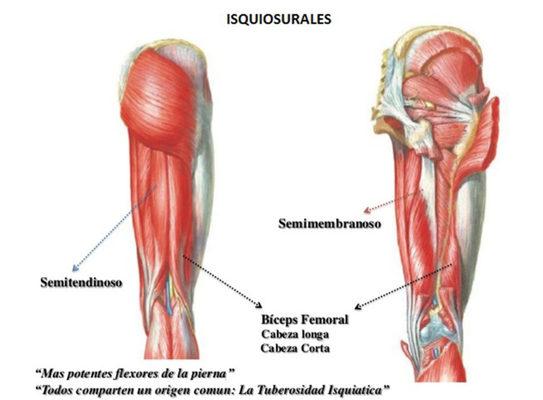 isquiosulares musculatura ejercicios para piernas en casa