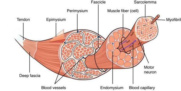 miofibra-como-ganar-masa-muscular