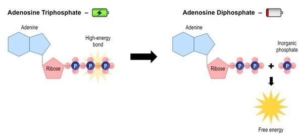 retrasar-el-envejecimiento-ATP-ADP