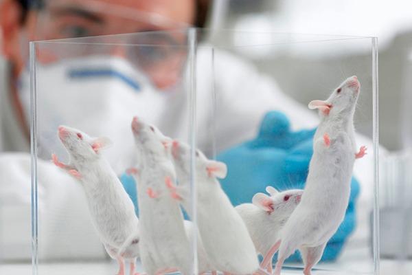 Ratas-de-laboratorio-en-restriccion calorica