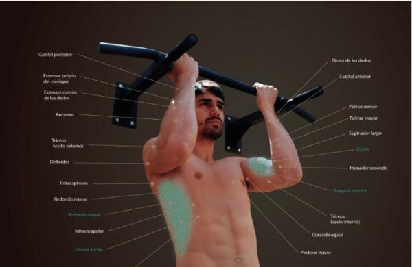 dominadas supinas musculatura